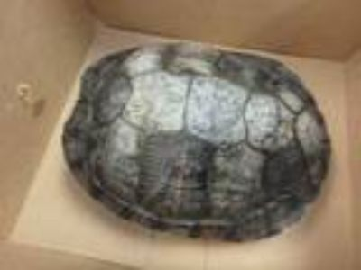 Adopt BOBBY SUE a Turtle