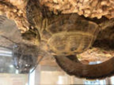 Adopt a Tortoise / Mixed reptile, amphibian, and/or fish in Sacramento