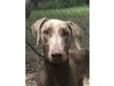 Adopt Almond a Tan/Yellow/Fawn Doberman Pinscher / Mixed dog in Grand Prairie