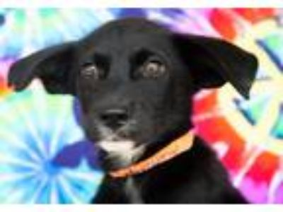 Adopt Mercury Planet a Black - with White Labrador Retriever / Mixed dog in