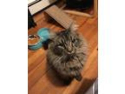 Adopt Blintz a Brown Tabby Maine Coon (long coat) cat in Medford, MA (25520991)