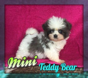 Mini: Female Shih-Chon Teddy Bear