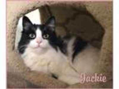 Adopt Jackie a Black & White or Tuxedo Maine Coon (long coat) cat in Sherman