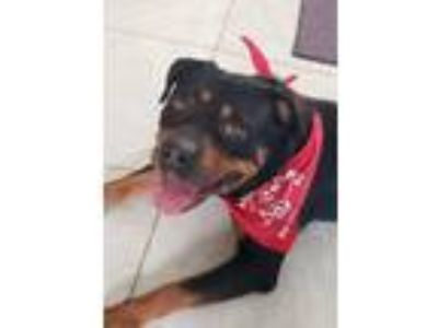 Adopt Bernadette a Rottweiler / Mixed dog in Lake Forest, CA (25770710)