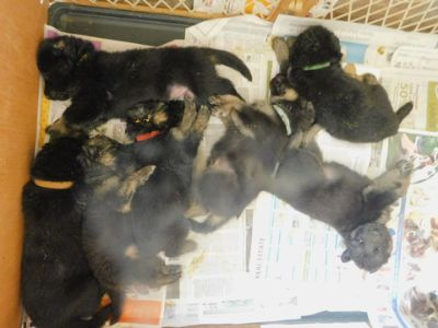 German Shepherd Dog PUPPY FOR SALE ADN-98848 - Double Registered german Shepherd Puppy