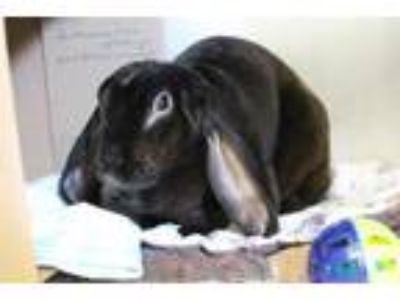 Adopt OZZY a French Lop