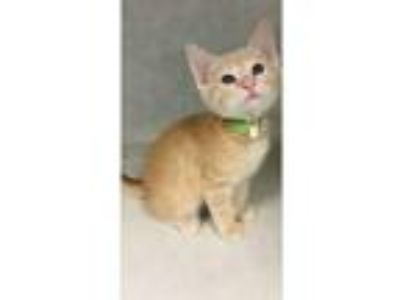 Adopt Duck a Domestic Shorthair / Mixed (short coat) cat in Chaska