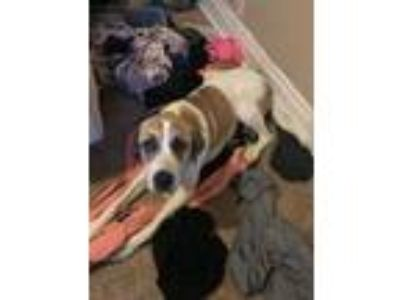 Adopt Endora a Great Pyrenees, Boxer