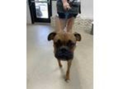 Adopt Adopted a Tan/Yellow/Fawn Boxer / Mixed dog in Fort Worth, TX (25568642)