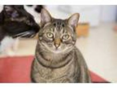Adopt Two a Tan or Fawn Domestic Shorthair / Domestic Shorthair / Mixed (short