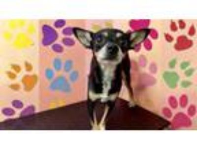 Adopt DANDY a Rat Terrier