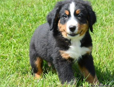Full Bred Bernese Mountain Puppies for sale.