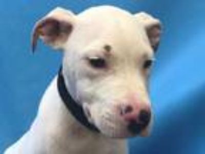 Adopt Cadell a White Dogo Argentino / Mixed dog in St. Paul, MN (25872387)