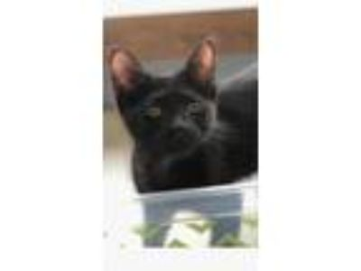 Adopt Ariel a Black (Mostly) Domestic Mediumhair / Mixed (medium coat) cat in
