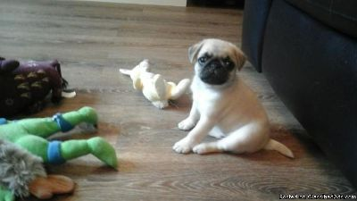 Champion Sired Pug Pups Ready Now
