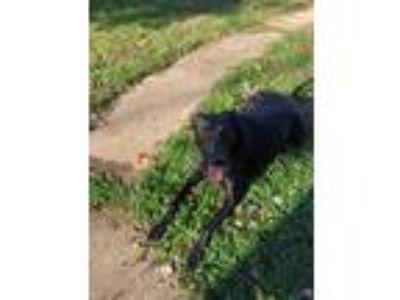 Adopt ChaCha a Black Labrador Retriever / Doberman Pinscher / Mixed dog in