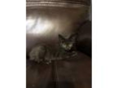 Adopt Maple a Domestic Shorthair / Mixed cat in Houston, TX (25936866)