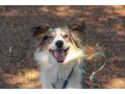 Adopt Sebastian a Gray/Silver/Salt & Pepper - with Black Australian Shepherd /