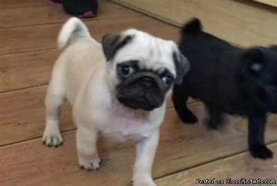 Intelligent Pug puppies for sale