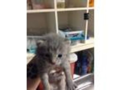 Adopt Drac a Gray or Blue Domestic Shorthair / Domestic Shorthair / Mixed cat in
