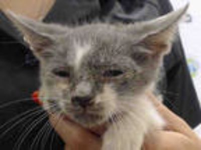 Adopt PURSIE a Gray or Blue Domestic Shorthair / Mixed (short coat) cat in