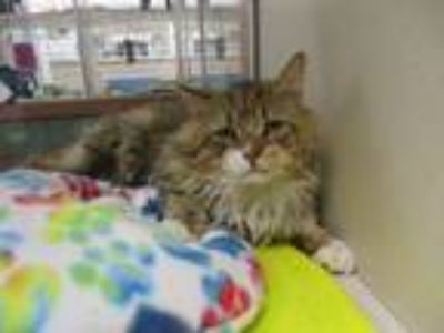 Adopt TOAD a Domestic Medium Hair