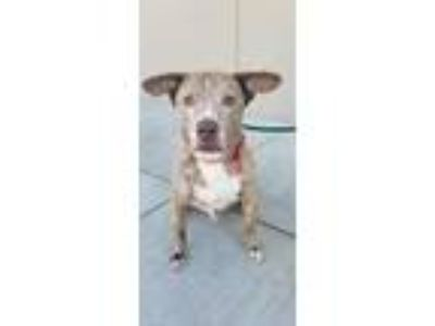 Adopt Leo a Brindle American Staffordshire Terrier / Labrador Retriever / Mixed