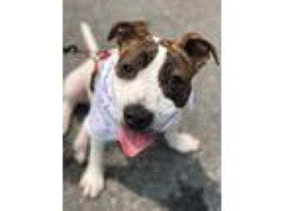 Adopt Gus Robinson a Brindle - with White Mixed Breed (Large) / Pointer / Mixed
