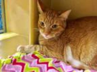 Adopt Diamond a Tabby, Domestic Short Hair
