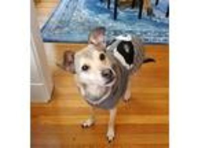 Adopt Brady and Puppy a Beagle, Jack Russell Terrier
