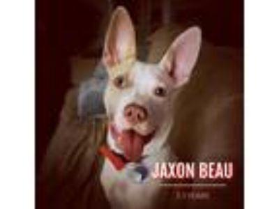 Adopt Jaxon Beau a White - with Tan, Yellow or Fawn Catahoula Leopard Dog /
