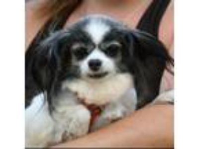 Adopt Lindy a Black - with White Papillon / Mixed dog in Huntley, IL (25563771)