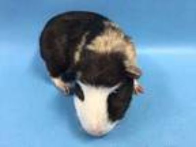 Adopt Steve a Black Guinea Pig / Mixed small animal in St. Paul, MN (25560997)