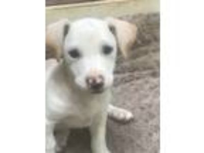 Adopt Crocus a White - with Tan, Yellow or Fawn Corgi / Labrador Retriever /