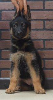 German Shepherd Dog PUPPY FOR SALE ADN-96368 - Amazing AKC German  Shepherd Puppies