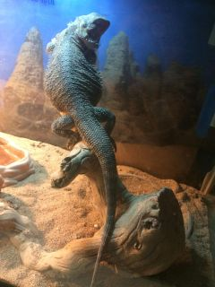 2 bearded dragons with everything included