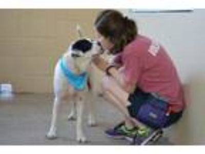 Adopt Boston a Border Collie, Labrador Retriever