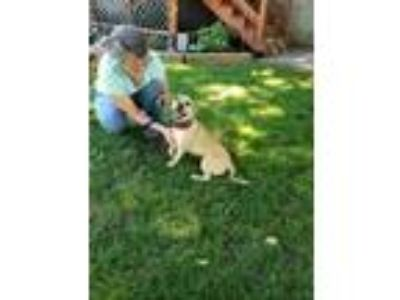Adopt Cricket a Tan/Yellow/Fawn Pug / Mixed dog in Clifton Park, NY (25870035)