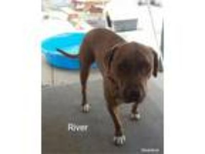 Adopt River a Tan/Yellow/Fawn Labrador Retriever / Mixed dog in Cherry Valley