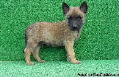 JKHKIU BELGIAN MALINOIS PUPPIES AVAILABLE FOR SALE Text: (4O4) 692 XX 3714