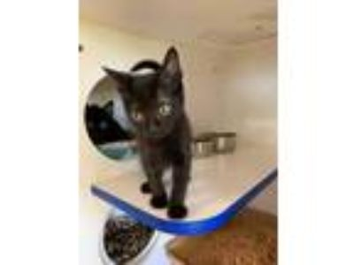 Adopt Caleb a All Black Domestic Shorthair / Domestic Shorthair / Mixed cat in