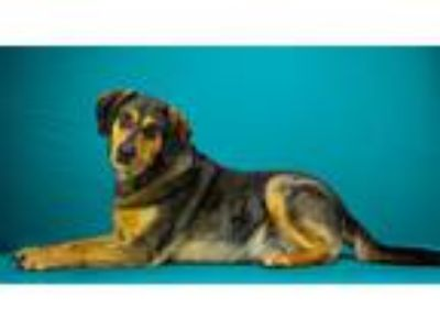 Adopt Hazel a Australian Shepherd / Catahoula Leopard Dog / Mixed dog in