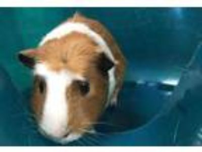 Adopt Arnold a Red Guinea Pig / Mixed small animal in Boulder, CO (25659894)