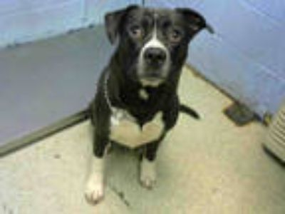 Adopt LOKI a Black - with White St. Bernard / German Shepherd Dog / Mixed dog in