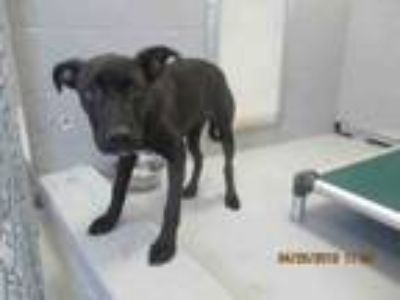Adopt ACE a Labrador Retriever, Mixed Breed