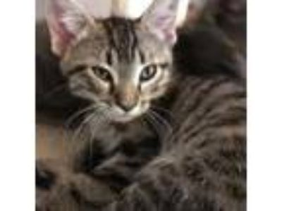 Adopt Maui a Brown Tabby Domestic Shorthair / Mixed cat in Wichita