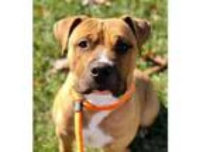 Adopt JACKSON a Pit Bull Terrier