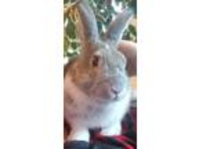 Adopt Barry a Bunny Rabbit