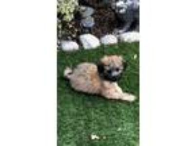 Adopt Roxi a Black - with Brown, Red, Golden, Orange or Chestnut Poodle (Toy or