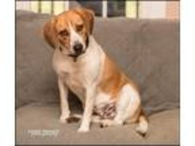 Adopt Dixie a Tan/Yellow/Fawn - with White Beagle / Labrador Retriever / Mixed